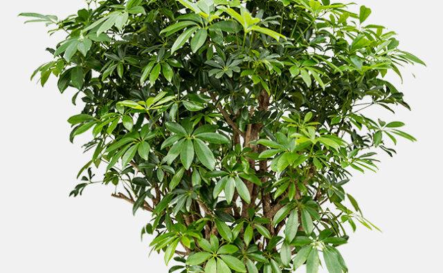 suured taimed